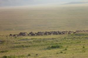 Wildebeest Herd