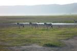 Zebras in theCrater