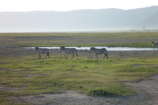 Zebras in the Crater