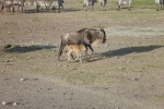 Wilidebeest and her baby