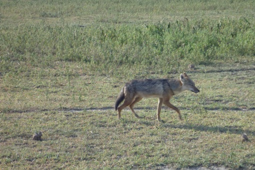 The Africa Jackal looks like a smaller version of our coyotes back home.