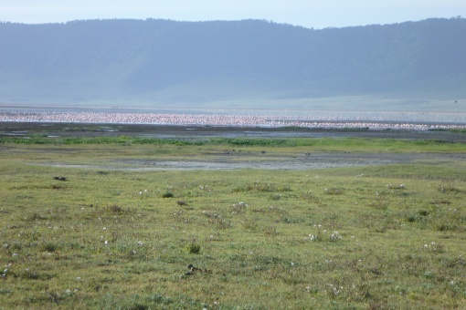 As sea of Flamingos