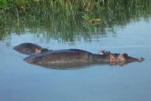 Hippo family in paradise