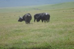 Capre Buffalo.  One of the Big Five. They can beagressive.