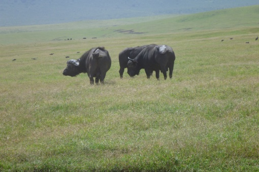Capre Buffalo.  One of the Big Five. They can be agressive.
