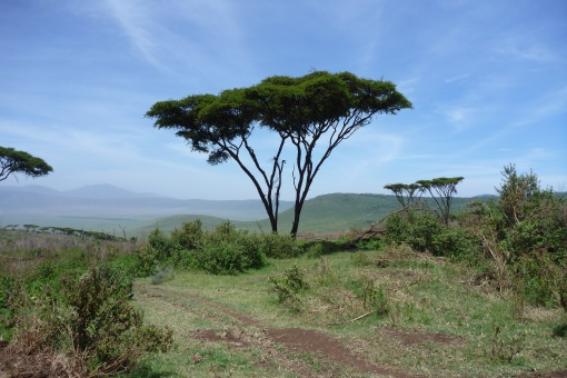 One of my favorite trees in the world. Then Acacia tree.