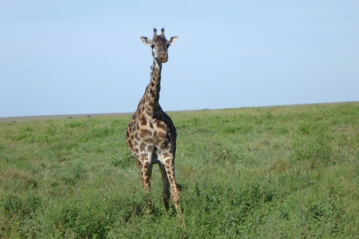 We saw loads of giraffes on the way out of Ngo Rongora